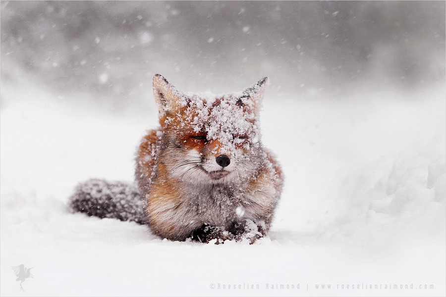 Red Fox turning White (© Roeselien Raimond)