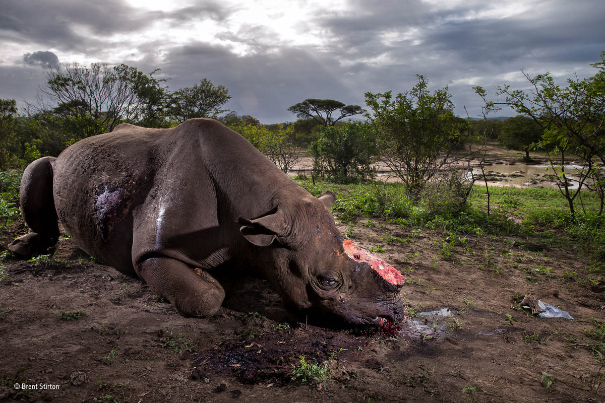 Vítězná fotografie soutěže Wildlife Photographer of the Year 2017 (© Brent Stirton)
